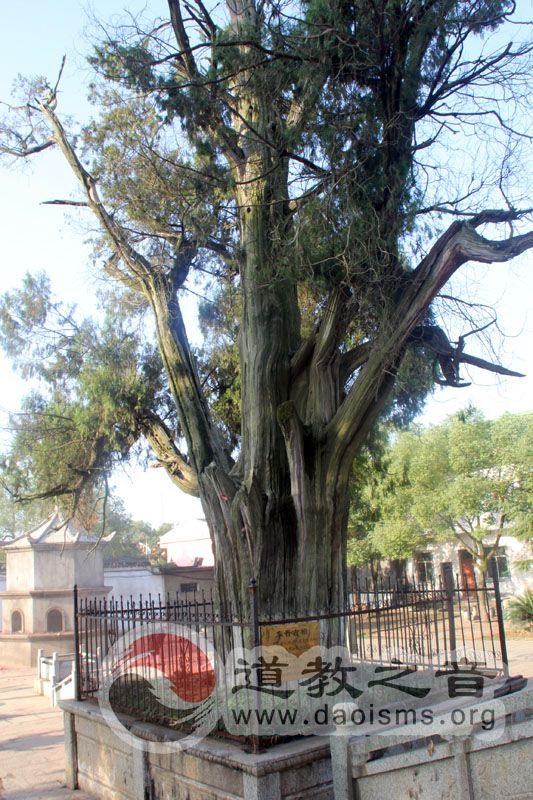 高明殿钱的千年柏树,相传为许真君亲手栽种