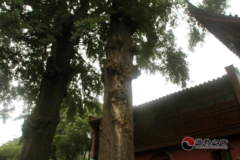常州白龙观古树