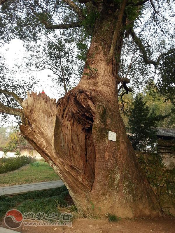东隐院门旁古樟树