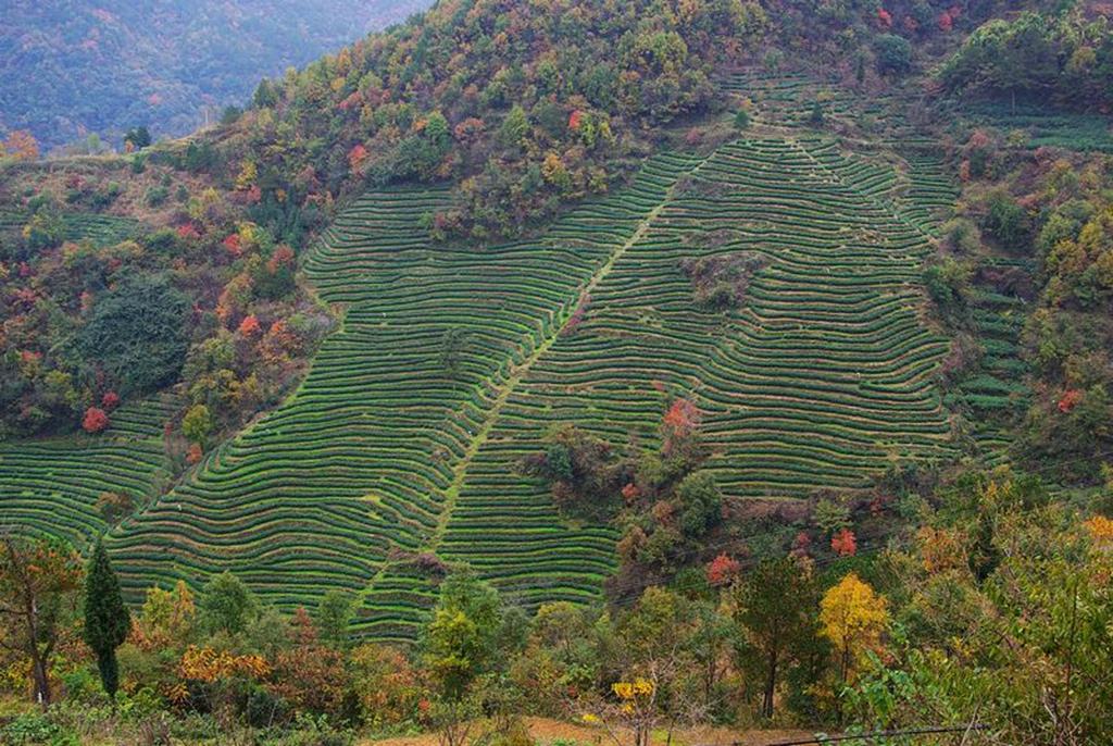 096优秀作品:秋茶满山飘香(摄影:罗瑞红)