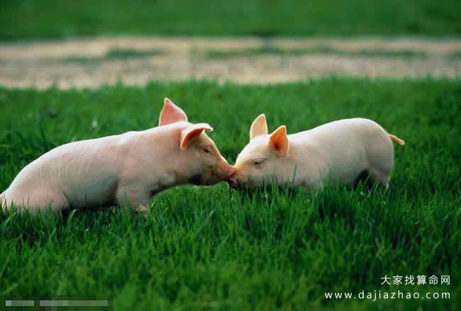 属猪2020年运势及运